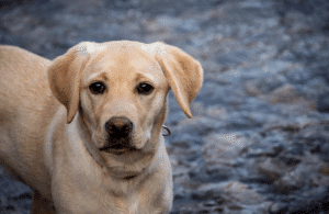 Guide To Labradors As Family Pets