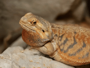 How to Take Care of Your Pet Bearded Dragon